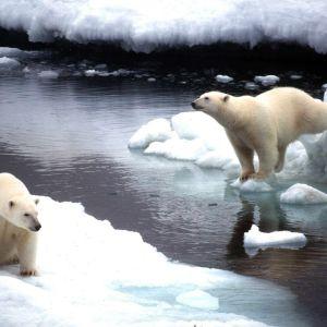 Isbjörnar i Kanada