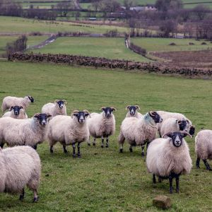 får på nordirland