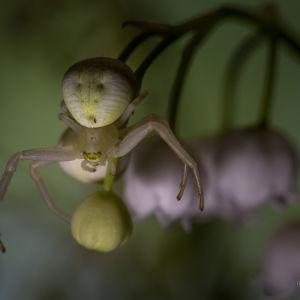 Guy Svahnström fotograferade en spindel och undrar vad den heter. Den fanns på liljekonvaljer och var mycket svår att upptäcka.