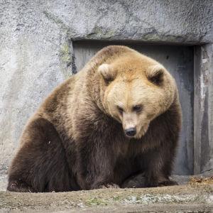 En sömnig brunbjörn på Högholmen i Helsingfors