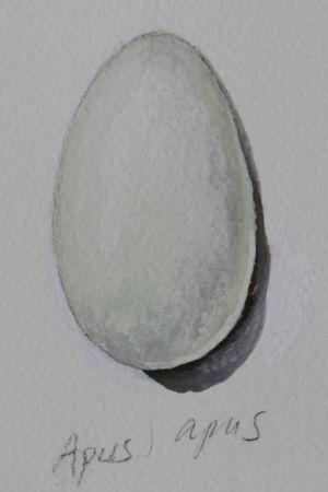 Vesivärimaalaus tervapääskyn munasta