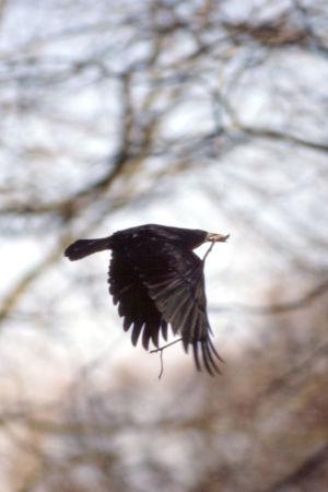 Mustavaris lentää oksa suussaan.