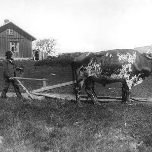 Gammal svartvit bild med jordbrukare som går efter en plog dragen av en oxe.