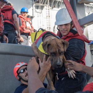 Den amerikanska flottans soldater hjälper ombord Zeus, en av hundarna, på USS Ashland.