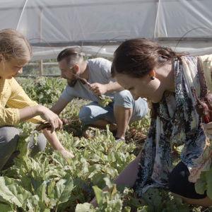Merja, Filip och Linda plockar rödbetor.
