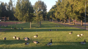 Vitkindad gås i centralparken i Pargas