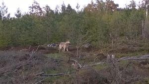 Varg i skog i Porkala i maj 2015.