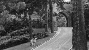 Urho Kekkosen vinttikoira kävelee puistokäytävän reunaa presidentin kesäasunnolla Kultarannassa 1976.
