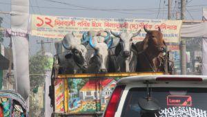 Bangladesh, lehmiä lavalla