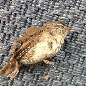 Katis katt hämtade in följande fågelunge, är det en gök?