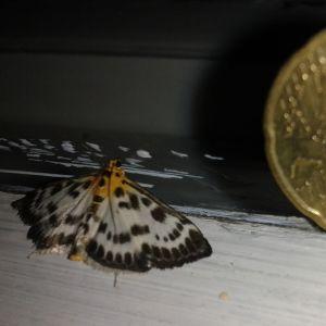 Annika Granholm undrar vad det här är för en fjäril (levande) som suttit på fönsterbrädet inomhus i 3 dagar och varifrån den kommit.