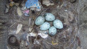Naakan munat ovat usein sinertäviä.