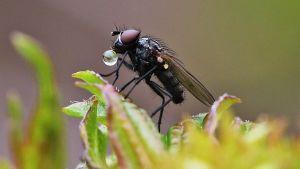 En fluga i närbild