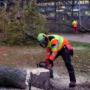 En person med motorsåg sågar ett träd vid Tokoistranden i Helsingfors.