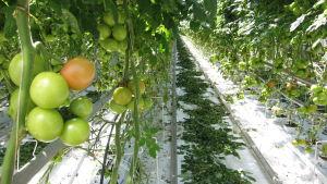 Tomater hänger i klasar på plantor i växthus