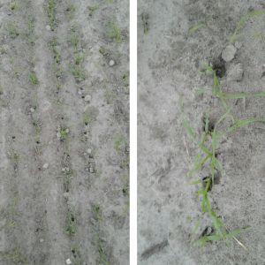 Johan Hertsbacka undrar vad som skett i den nysådda rågåkern. Det finns en massa små, ca 1,5 cm breda och 3-4 cm djupa, hål runt plantorna på väldigt stora delar av fältet.