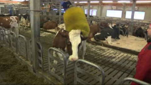 Korna kan fritt gå och borsta sig i ladugården.