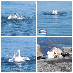 Johan undrar om svanarna kan ta livet av varandra vid ett revirslagsmål. Detta slagsmål utspelades i Korpo.