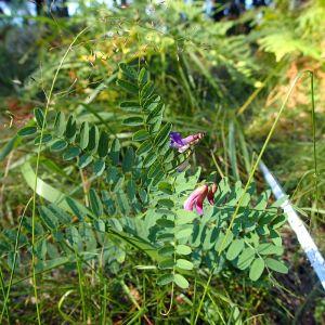 En blommande växt av arten backvicker.