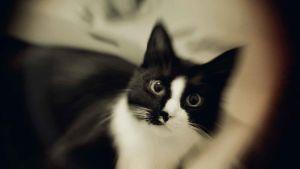 kissa, mustavalkoinen