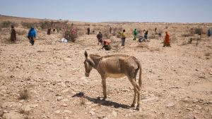 En utsvulten åsna i Somalia