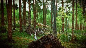 ikimetsä, vanha metsä