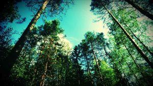 metsä, taivas