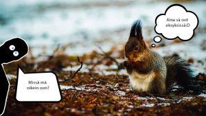 Suojiksen kuplakuva - Orava