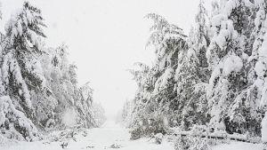 Snötyngda träd
