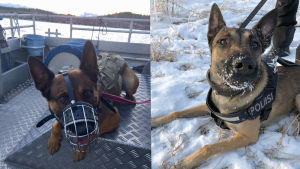 Två polishundar.