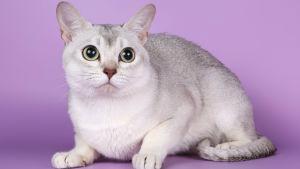 Katt av rasen Burmilla