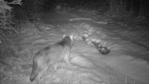 Varg på en skogsväg, fångad på bild av en viltkamera