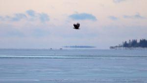 Havsörn på isen, fotograferad från Replotbron.