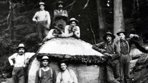 Amerikafinländska män i skogsarbete poserar framför en fälld tjock trästam år 1910.