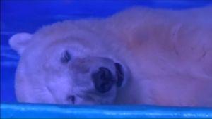 Uutisvideot: Pizza-jääkarhu elää ostoskeskuksen teemapuistossa