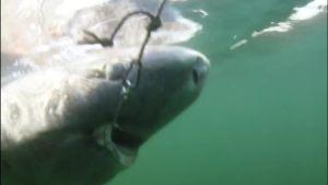 Uutisvideot: Tässä ui jäähai Grönlannissa