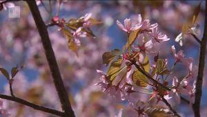 Uutisvideot: Kukkaan puhjenneet kirsikkapuut houkuttelivat helsinkiläiset liikkeelle