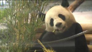 Uutisvideot: Berliin eläintarha sai kaksi pandaa