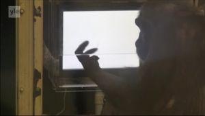 Uutisvideot: Simpanssitkin oppivat pelejä, kuten kivi-paperi-sakset
