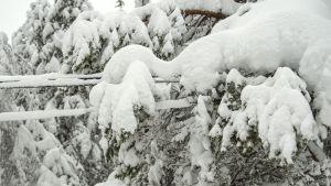 Lumikuorma taivuttaa puut sähkölinjan päälle Hyrynsalmella Kainuussa perjantaina 5. tammikuuta