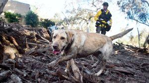 Mutainen pelastuskoira auttaa mutavyöryssä kadonneiden etsinnässä Kaliforniassa.