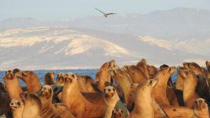 Lauma merileijonia hiekkarannalla, taustalla häämöttää toinen saari.