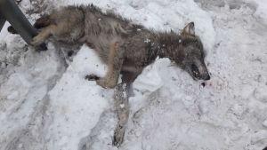 Espoon moottoritieltä löytynyt kuollut susi.