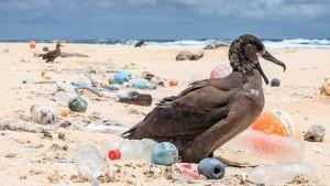 lintu rannalla ja muoviroskaa
