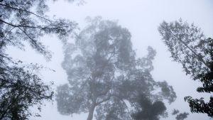 sademetsä sumussa