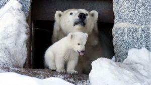 Jääkarhu Venus ja sen pentu pesäluolan suulla Ranuan eläintarhan aitauksessaan.