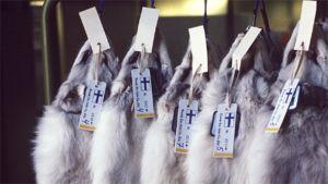 Siniketunnahkoja roikkumassa telineessä huutokauppaa varten.