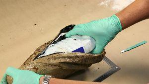 Poliisi avaamassa takavarikoitua metamfetamiinipakkausta.