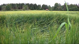Lakoontunutta peltoa