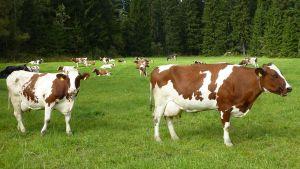 Lehmiä kesälaitumella